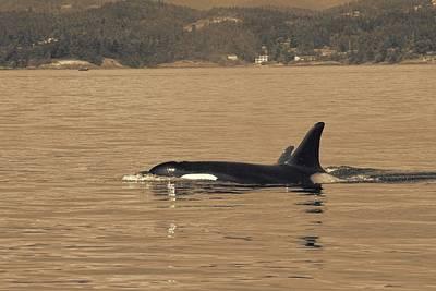Swimming Orca And Calf  Art Print by Dan Sproul