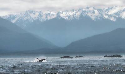 Photograph - Swimming Orca Strait Of Georgia by Dan Sproul