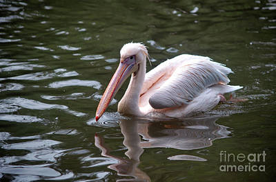 Photograph - Swimming Pelican by Michelle Meenawong