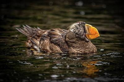 Photograph - Swimming Puffin by Bill Posner