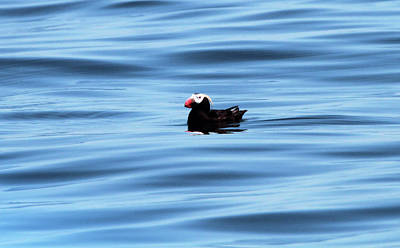 Photograph - Swimming Puffin In Blue Water by Dan Sproul