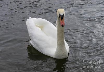 Photograph - Swimming Swan by Jennifer White