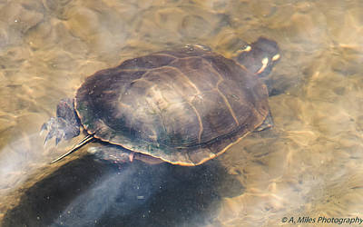 Photograph - Swimming Turtle by Andrew Miles
