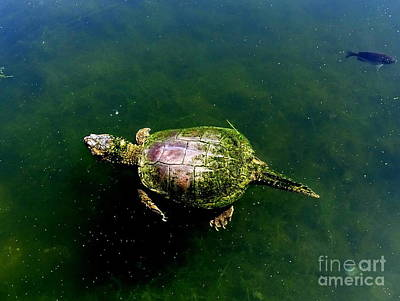 Photograph - Swimming Turtle by Ed Weidman