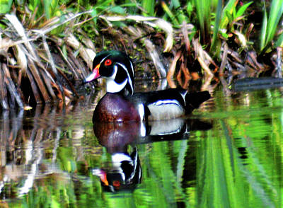 Photograph - Swimming Wood Duck by Kathy Kelly