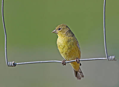 Goldfinch Photograph - Swinging by Gary Wing