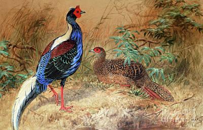Pheasant Painting - Swinhoe's Pheasant  by Joseph Wolf
