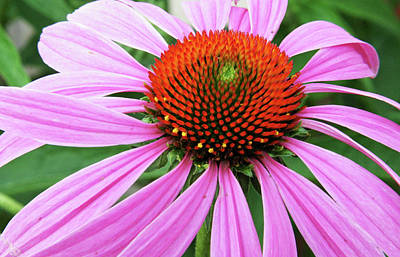 Swirling Purple Cone Flower 3576 H_2 Art Print