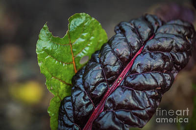 Photograph - Swiss Chard by Eva Lechner