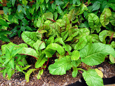 Spinach Painting - Swiss Chard In A Vegetable Garden 2 by Lanjee Chee