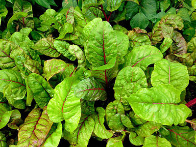 Spinach Painting - Swiss Chard In A Vegetable Garden 4 by Lanjee Chee
