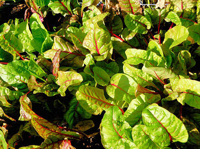 Spinach Painting - Swiss Chard In A Vegetable Garden by Lanjee Chee