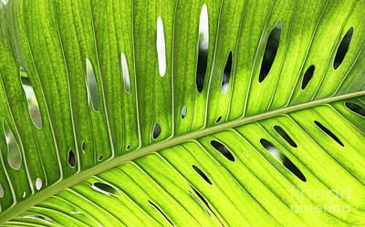 Photograph - Swiss Cheese Plant by Tim Gainey