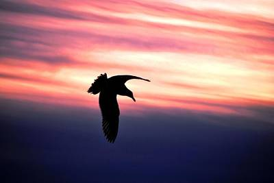 Photograph - Swooping Bird At Sunset by Matt Harang