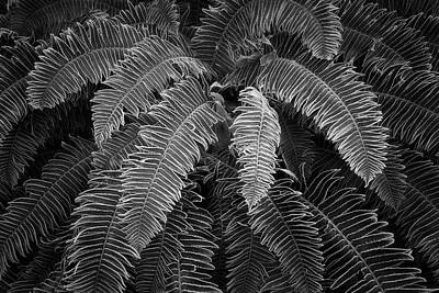 Photograph - Sword Ferns Black And White by Adam Gibbs
