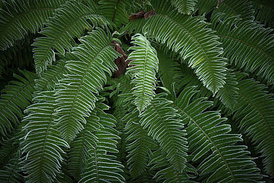 Photograph - Sword Ferns In Colour by Adam Gibbs