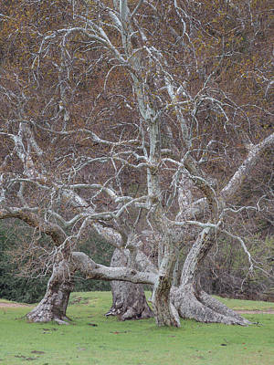 Photograph - Sycamore Dance by Alexander Kunz