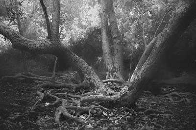 Tree Roots Photograph - Sycamore by Joseph Smith