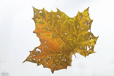 Photograph - Sycamore Leaf by Phil Rispin
