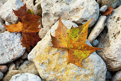 Creek Beds Photograph - Sycamore Leaves On Creek Bed Stones. by Mark Weaver