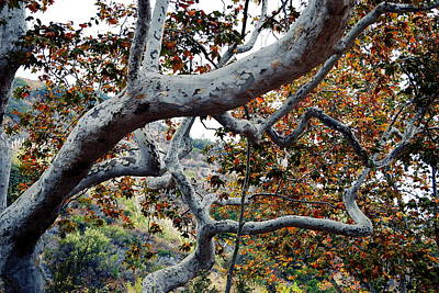 Photograph - Sycamore Tree Abstraction by Glenn McCarthy Art and Photography
