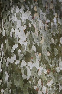 Photograph - Sycamore Tree Natural Abstract by Teresa Zieba