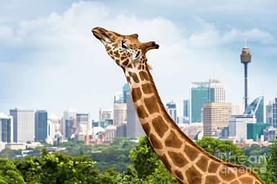 Photograph - Sydney Giraffe by Andrew Michael