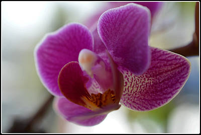 Golden Pink Orchid Photograph - Symbol Of Elegance by Dianne Cowen