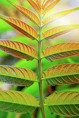 Symmetry Photograph - Symmetric Leaves by Carlos Caetano