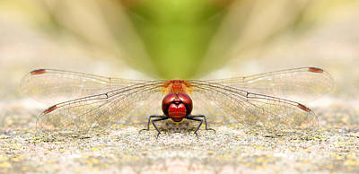 Photograph - Symmetry Of A Dragonfly Grin by Lisa Cockrell
