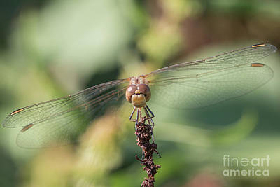 Photograph - Sympetrum Meridionale Female by Jivko Nakev