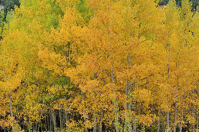 Photograph - Symphony In Gold by Ron Cline