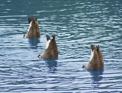 Photograph - Synchronized Swimming  by Cathy  Beharriell