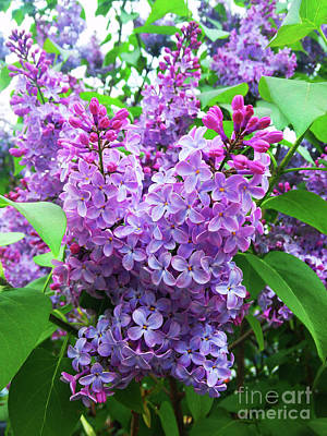 Photograph - Syringa by Jasna Dragun