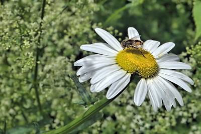 Photograph - Syrphid Daisy by Andrew Miles