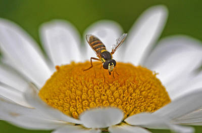 Flower Photograph - Syrphids Fly by Gary Wing