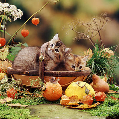 Photograph - Tabbies In A Trug by Warren Photographic