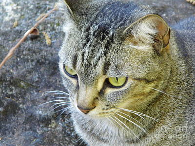 Photograph - Tabby Cat by D Hackett