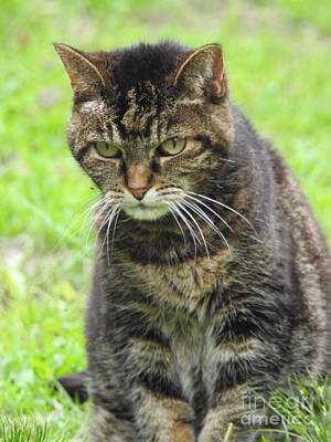 Photograph - Tabby Cat  by Eunice Miller