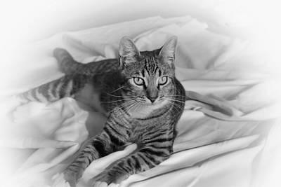 Gray Tabby Photograph - Tabby Cat by Francie Davis