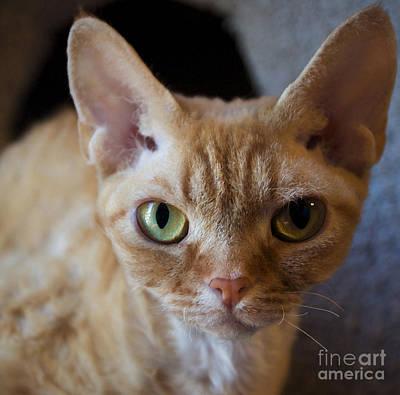 Devon Rex Cat Painting - Tabby Cat by Glennis Siverson