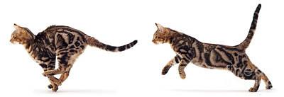 Photograph - Tabby Cat Running by Warren Photographic