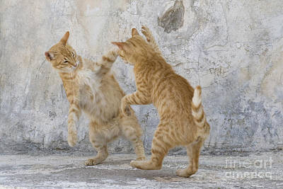 Litter Mates Photograph - Tabby Cats Fighting by Jean-Louis Klein & Marie-Luce Hubert