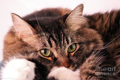 Photograph - Tabby Eyes by Susan Herber