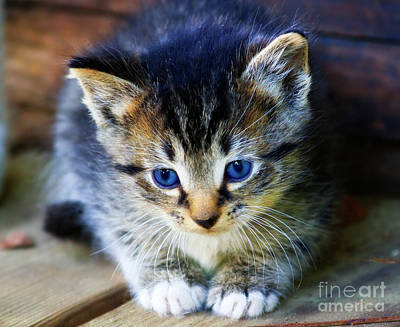 Photograph - Tabby Kitten by Jill Lang
