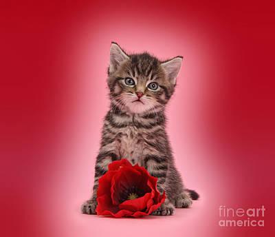 Photograph - Tabby Kitten Love by Warren Photographic