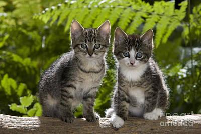 Gray Tabby Photograph - Tabby Kittens by Jean-Louis Klein & Marie-Luce Hubert