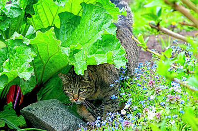 Photograph - Tabby Under The Rhubarb by Sharon Talson
