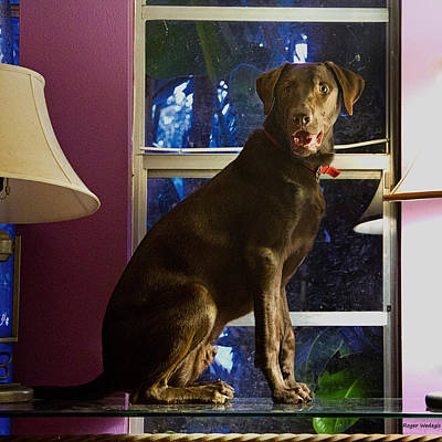 Chocolate Lab Photograph - Table Ornament by Roger Wedegis