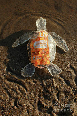 Sculpture - Taco Sauce Baby Sea Turtle From The Feral Plastic Series By Adam by Adam Long